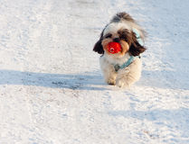 Cute dog carrying its ball. Cute dog carroes its ball as it runs happily along Stock Image