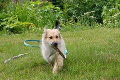 A cute dog is carrying its collar in a garden stock photography