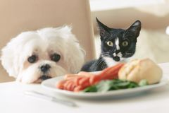Cute dog and cat asking for food. Cute white dog Maltese and cat sitting together on one a chair at the table and begging for food like sausage which is on a royalty free stock photography