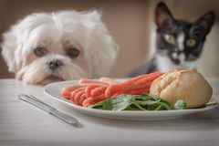 Cute dog and cat asking for food. Cute white dog Maltese and cat sitting together on one a chair at the table and begging for food like sausage which is on a royalty free stock images