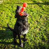 Cute dog  catching a toy Royalty Free Stock Photos