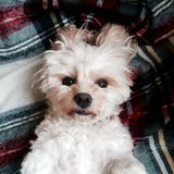 Cute dog. Cavachon cute dog Royalty Free Stock Photos