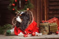 Cute funny dog celebrating Christmas and New Year with decorations and gifts. Chinese year of the dog. Stock Images
