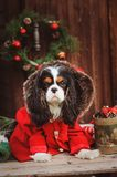 Cute funny dog celebrating Christmas and New Year with decorations and gifts. Chinese year of the dog. Royalty Free Stock Images