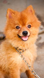 cute dog chained but smile Stock Photo