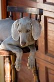 Cute dog on chair. Portrait of cute gray long eared dog on chair Stock Images
