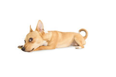 Cute dog chewing bone toy Royalty Free Stock Image