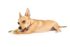 Cute dog chewing bone toy Stock Photo