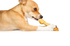 Cute dog chewing bone toy Royalty Free Stock Photos