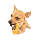 Cute dog chewing bone toy Stock Photography