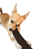 Cute dog chewing on skateboard toy Stock Image