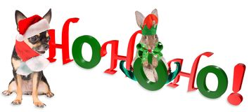 Cute dog chihuahua and cute bunny say hohoho merry christmas Stock Image