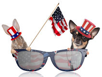 Cute dog chihuahua and cute bunny looking in sun glasses for 4th of july independence day Royalty Free Stock Photos