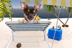 Cute dog chihuahua enjoy of the summer travel on the Beach Stock Image