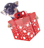 Cute dog chihuahua give a valentine gift. Isolated Stock Photos