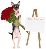 Cute dog chihuahua gives roses to mom for mother day. Isolated Stock Photography