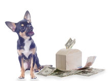 Cute dog chihuahua is happy with money isolated Stock Photos
