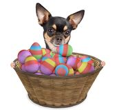 Cute dog chihuahua have a basket with easter eggs between legs Stock Images