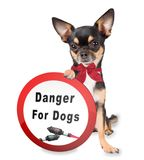 Cute dog chihuahua have forbidden sign board between legs for fireworks Royalty Free Stock Image