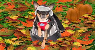 Cute dog chihuahua lay in bag and looking ground full of fall autumn leaves Royalty Free Stock Image