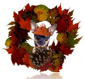 Cute dog chihuahua look from the autumn wreath Stock Photography