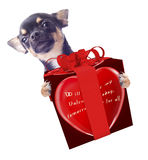 Cute dog chihuahua with love in the air give a valentine gift stock photography