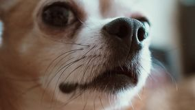 Cute dog chihuahua puppy blinking eyes closeup nose, macro shot stock footage