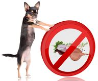 Cute dog chihuahua Push the forbidden onions road sign away. Isolated Royalty Free Stock Photography