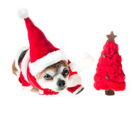 Cute dog chihuahua in santa claus costume with red christmas tree lies on isolated white background. Chinese New Year 2018 The Yea Royalty Free Stock Photography
