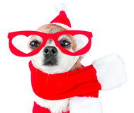 Cute dog chihuahua in santa claus costume with red glasses on the eyes on isolated white background. Chinese New Year 2018 The Yea Royalty Free Stock Image