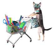 Cute dog chihuahua shopping for back to school supplies. Isolated Stock Photo