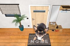 Cute dog chihuahua sit on welcome doormat home Royalty Free Stock Images