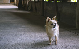 Cute dog. Cute chihuahua staring at the space royalty free stock photo