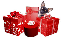 Cute dog chihuahua is very happy with the gifts she has received. Isolated Royalty Free Stock Images