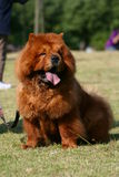 Cute dog chow. This is a very cute chow chow dog Royalty Free Stock Images