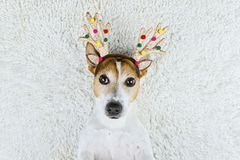 Cute dog in Christmas gold deer horns royalty free stock photo