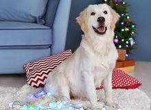 Cute dog with Christmas lights sitting. On floor at home royalty free stock photos