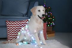 Cute dog with Christmas lights sitting on floor. At home royalty free stock photos