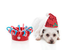Cute dog with Christmas treats. A cute white dog with a bowl of Christmas treats.  White background Stock Images