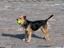 Cute dog on cobbled street with ball. Close up of a cute dog holding a tennis ball on a cobbled street Royalty Free Stock Photos