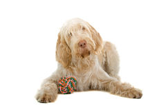 Cute dog with colorful toy. Closeup of Spinone Italiano dog with colorful toy between paws, isolated on white background stock image