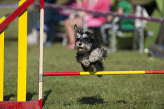 Cute dog compete on agility Stock Photo
