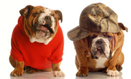 Cute dog couple. Cute couple - two dogs sitting beside each other sharing a joke stock images