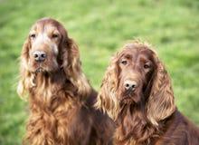 Cute dog couple Royalty Free Stock Image