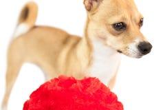 Cute dog with cushion Royalty Free Stock Photos