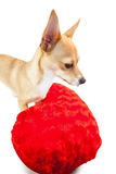 Cute dog with cushion Royalty Free Stock Photography