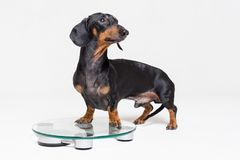 Cute dog dachshund, black adn tan, on a glass scales, isolated on gray background.  royalty free stock images