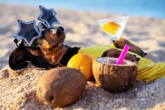 Cute dog of dachshund, black and tan, buried in the sand at the beach sea on summer vacation holidays, wearing star glasses with c
