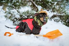 Cute dog dachshund, black and tan, wearing clothes sweater and a hat with an orange shovel for snow cleaning, stands in a snowdr royalty free stock images