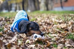 Cute dog dachshund, black and tan, in white blue clothes T-shirt playing gnaw with a toy ball in the street in the autumn leaves.  stock image